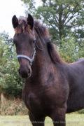 SBH-Horses Blijke-fan-e-hoarnst-tekoop-5507